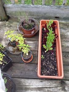 Herbs and mesclun